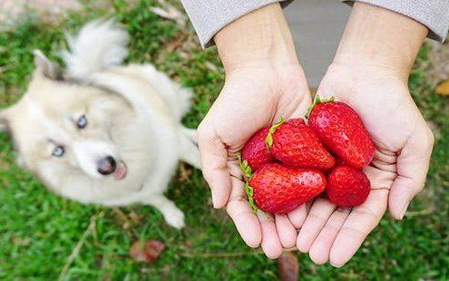 Είναι ΟΚ να δώσεις στο σκύλο σου λίγες φράουλες;