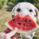 Τελικά είναι ΟΚ για τους σκύλους να τρώνε καρπούζι;