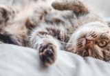 Τελικά υπάρχουν «υποαλλεργικές» γάτες;