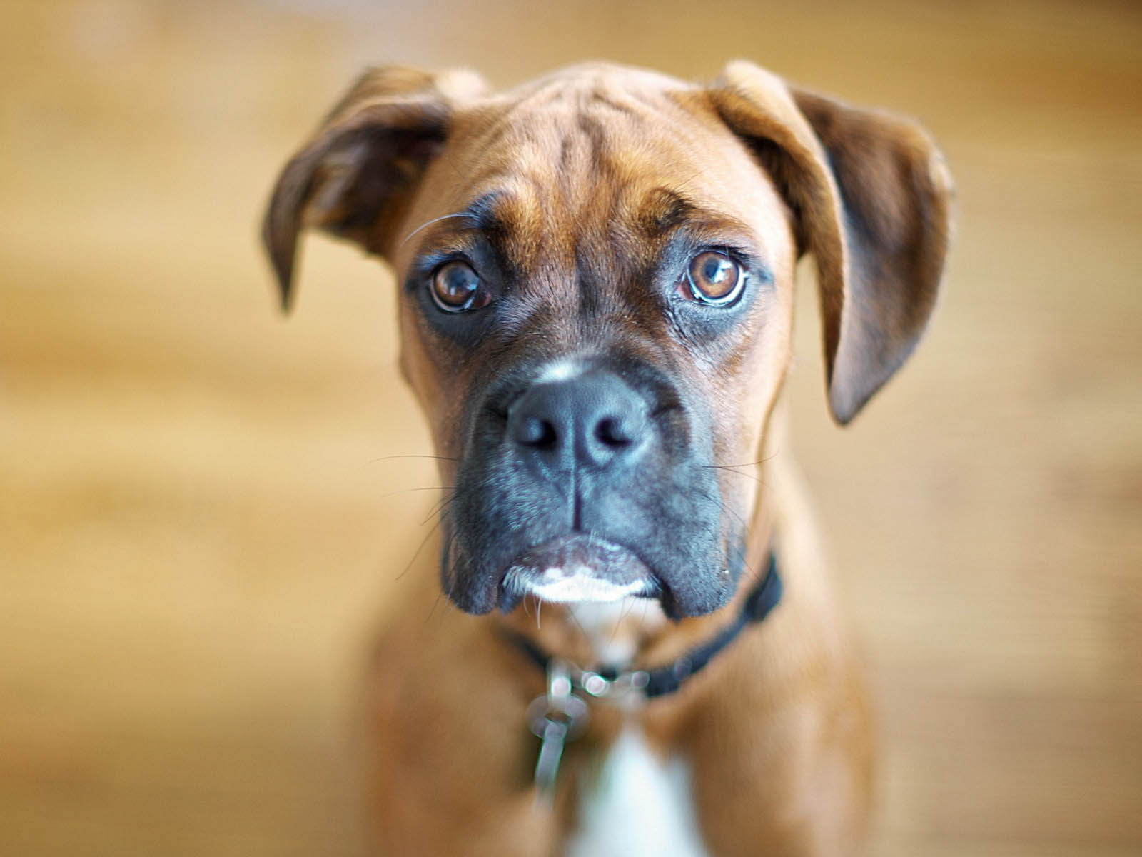boxerdog-wallpapers-7