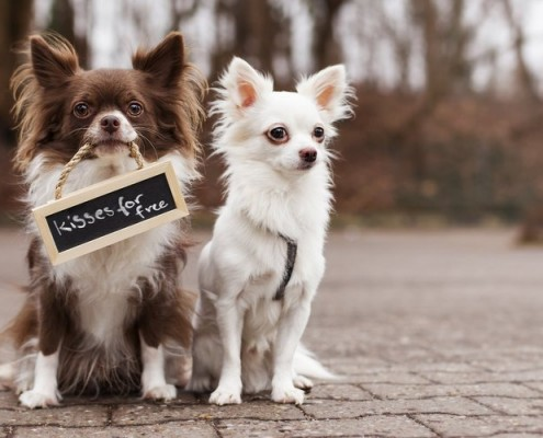 chihuahua-dogs-two-friends-plate-inscription-street