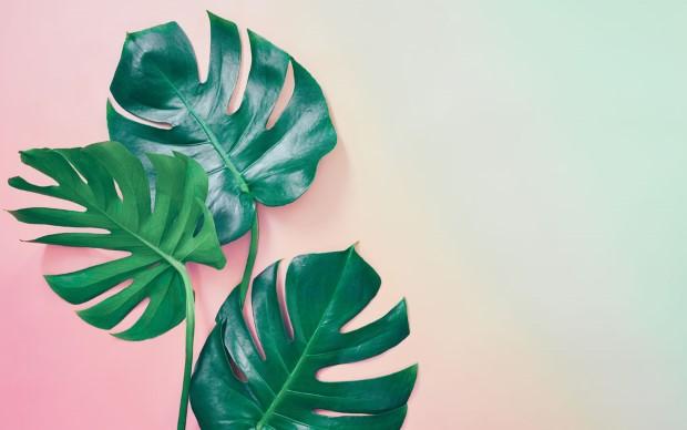 Cheese plant: τι χρειάζεται να ξέρεις για τον πράσινο βασιλιά της εσωτερικής διακόσμησης;