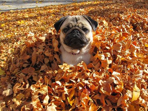 pug fall